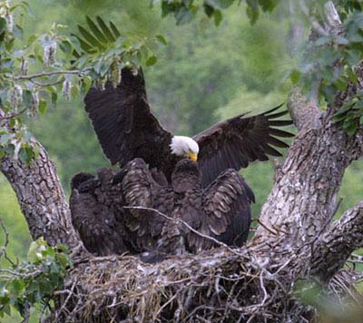 Bald Eagle's Nest -  photo by Larry Wan