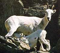Dahl Sheep with Lamb - Wan Conservancy