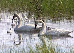 Swans swimming in estuary - Wan Conservancy