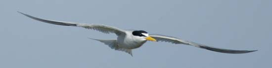 California Least Tern - by Larry Wan - Western Alliance for Nature